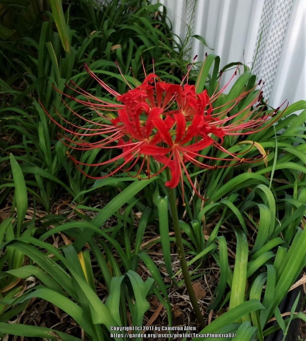 Photo of Red Spider Lily (Lycoris radiata) uploaded by TexasPlumeria87