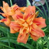 Location: Lebanon, TennesseeDate: 2014-06-22Beautiful when mixing with Lucifer Crocosmias