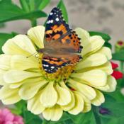 Location: My GardensDate: September 1, 2017Attractive To #Butterflies; #Pollination