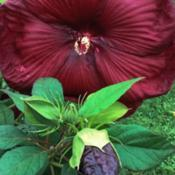 Location: Medina, TNDate: 2016-08-20The buds of Hibiscus 'Heartthrob' are almost black.