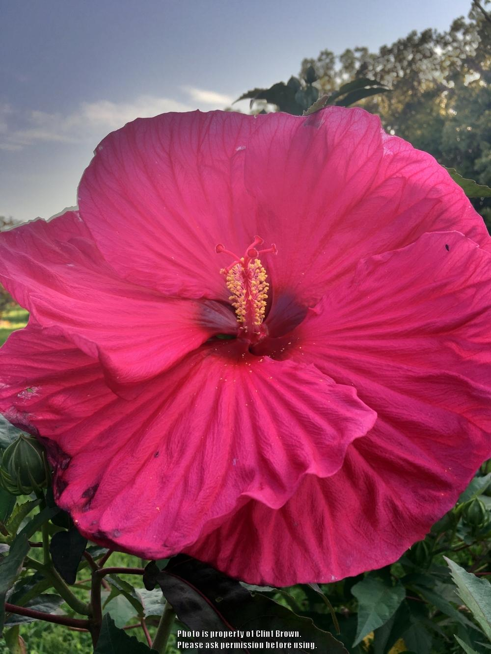 Hibiscus plant care and collection of varieties garden add or edit informational text about this plant izmirmasajfo
