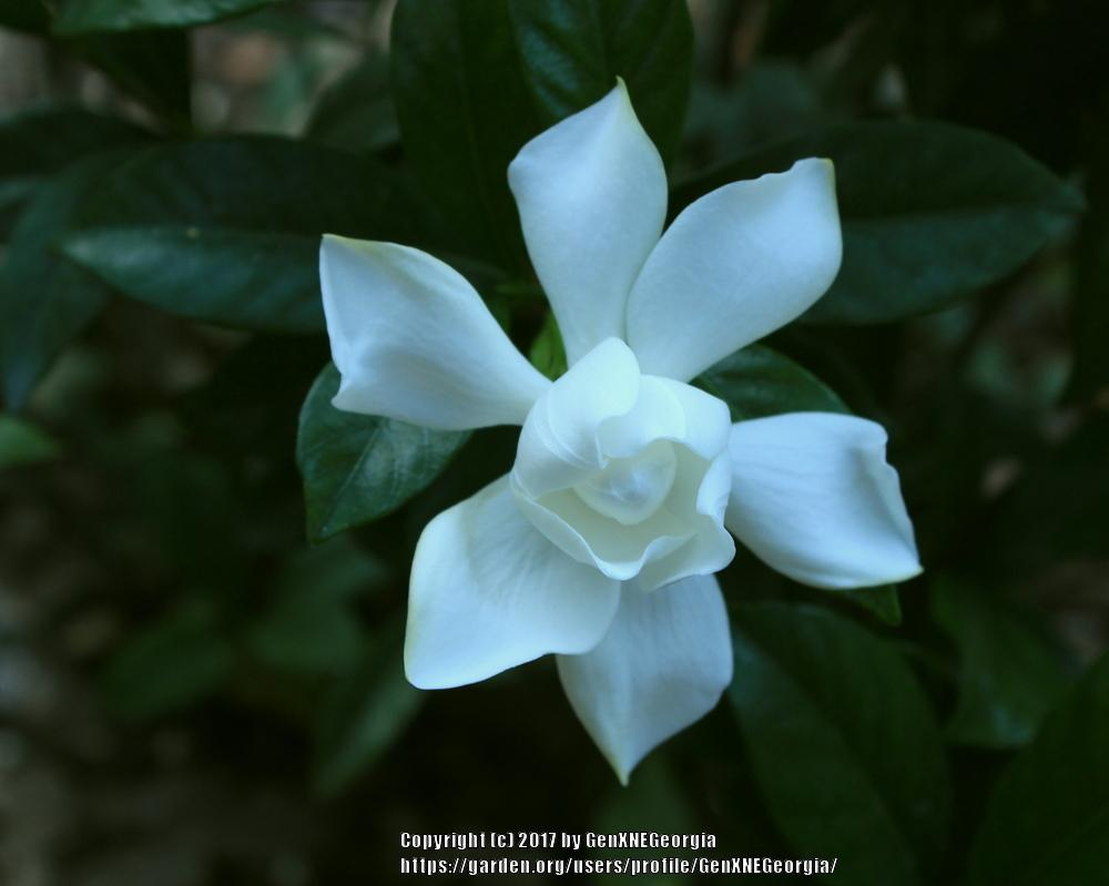 Gardenias plant care and collection of varieties garden add or edit informational text about this plant izmirmasajfo