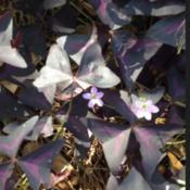 Location: Decatur, GADate: 2017-9-17Oxalis Triangularis Purple Shamrock