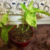 Location: Our apartmentDate: 2017-09-19A new Syngonium I've discovered online!