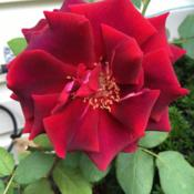 Location: Zone5bDate: 2017-09-19Old fashion fragrant red rose