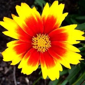 Coreopsis UpTick Gold & Bronze flower