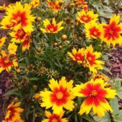 Location: My garden, central NJ, Zone 7ADate: 2017-09-20Coreopsis UpTick Gold & Bronze plant
