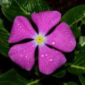 Location: Botanical Gardens of the State of Georgia...Athens, GaDate: 2017-09-08Purple Periwinkle 004