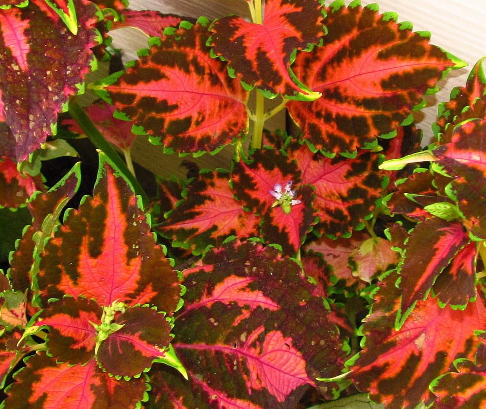 Coleus Plant Care and Collection of Varieties Gardenorg