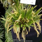 Location: Melbourne Orchid Spectacular, Victoria, AustraliaDate: 2017-08-26Part of the Orchid Species Society of Victoria display.