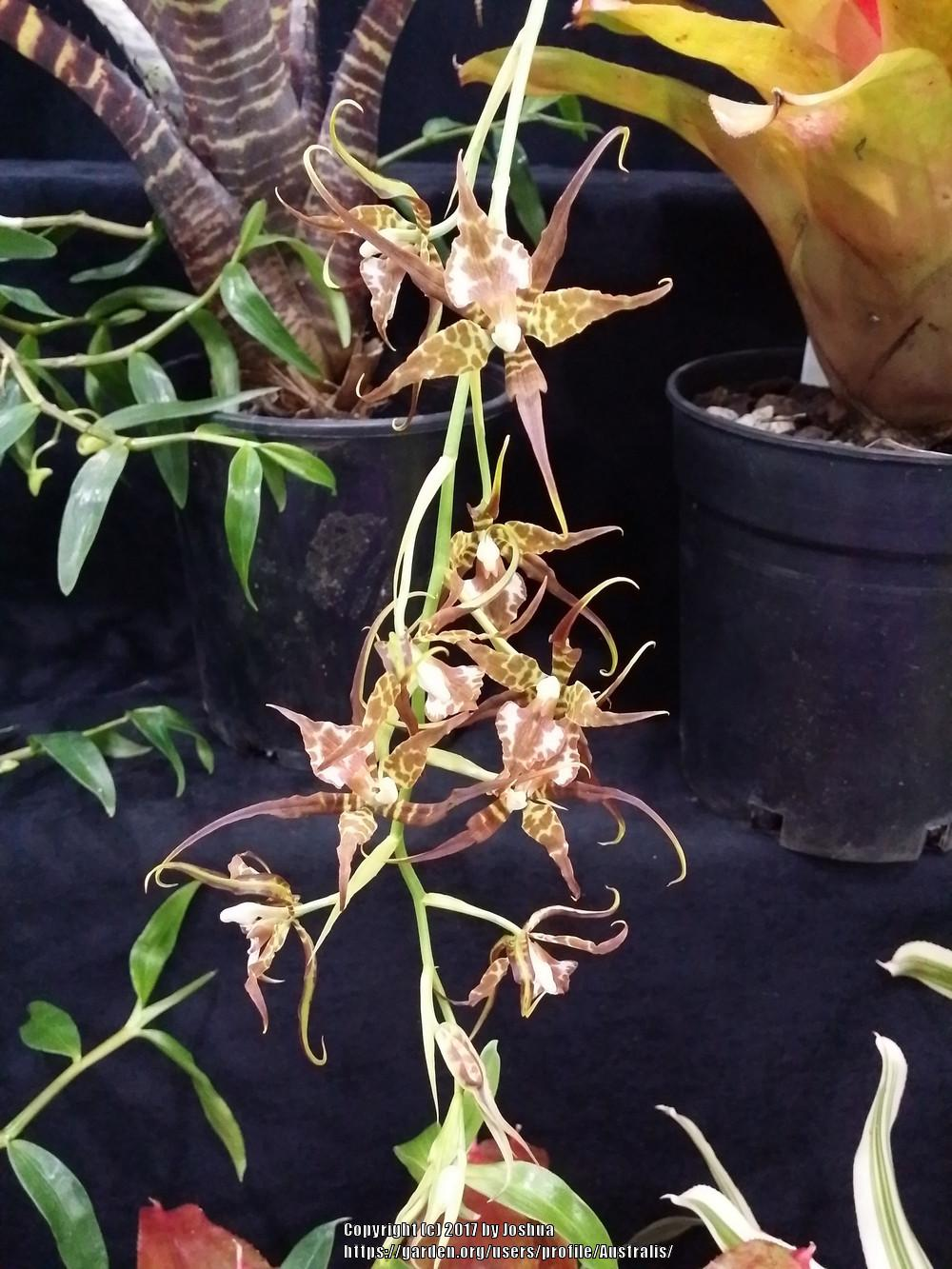 Photo of Orchid (Rhynchostele cordata) uploaded by Australis