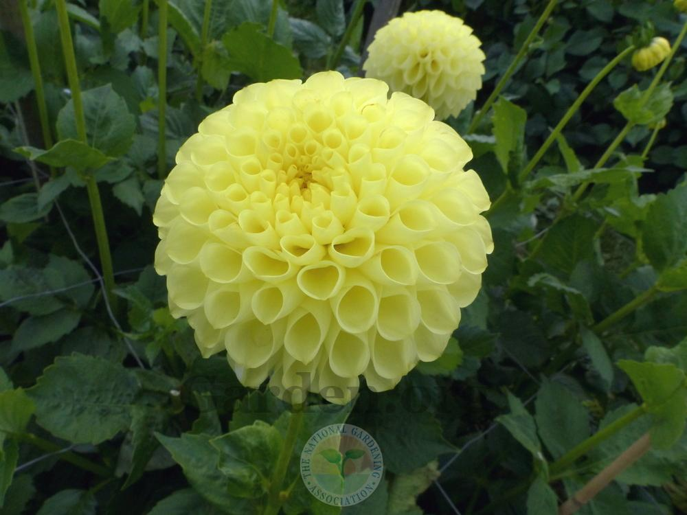 Photo of Dahlia 'Ryecroft Yellow Orb' uploaded by Galanthophile