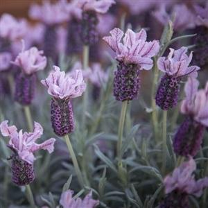 Photo of Lavender (Lavandula 'Ghostly Princess') uploaded by Lalambchop1