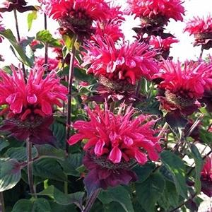 Photo of Bee Balm (Monarda 'Bee-Happy') uploaded by Lalambchop1
