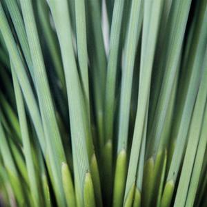 Photo of Hard Rush (Juncus inflexus 'Blue Arrows') uploaded by Lalambchop1