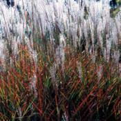 Location: Pembroke, GADate: 2014-01-23Miscanthus Purpurascens