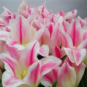 Photo of Lily Flowering Tulip (Tulipa 'Holland Chic') uploaded by Lalambchop1