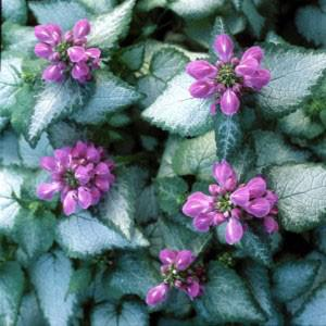 Photo of Spotted Dead Nettle (Lamium maculatum 'Purple Dragon') uploaded by Lalambchop1