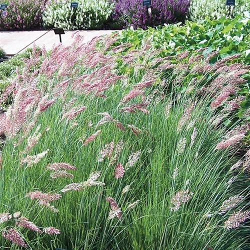 Photo of Ruby Grass (Melinis nerviglumis 'Savannah') uploaded by Lalambchop1
