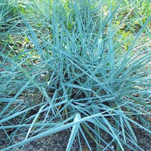Photo of Blue Lyme Grass (Leymus arenarius 'Blue Dune') uploaded by Lalambchop1