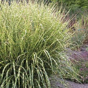 Photo of Porcupine Grass (Miscanthus sinensis 'Gold Breeze') uploaded by Lalambchop1