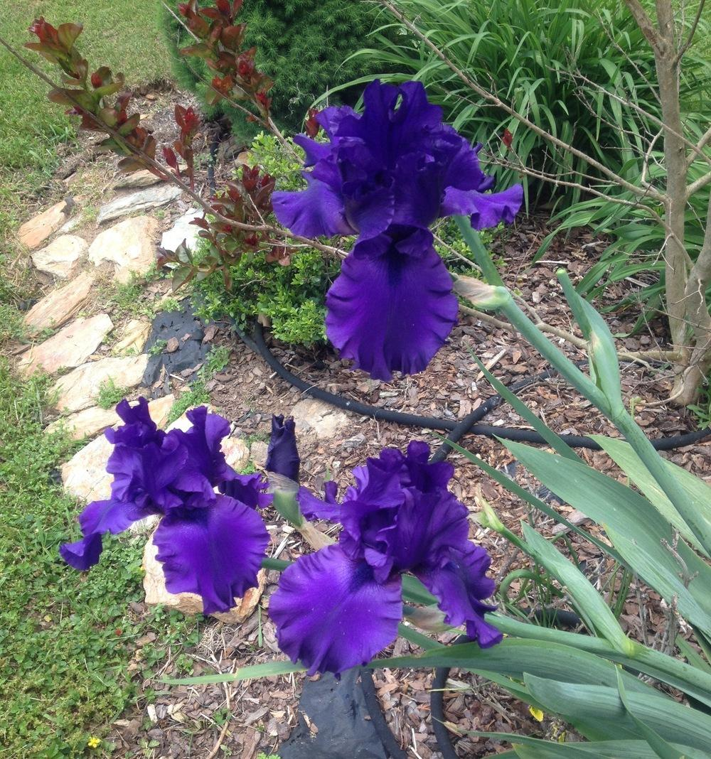 Photo of Tall Bearded Iris (Iris 'Dusky Challenger') uploaded by csandt
