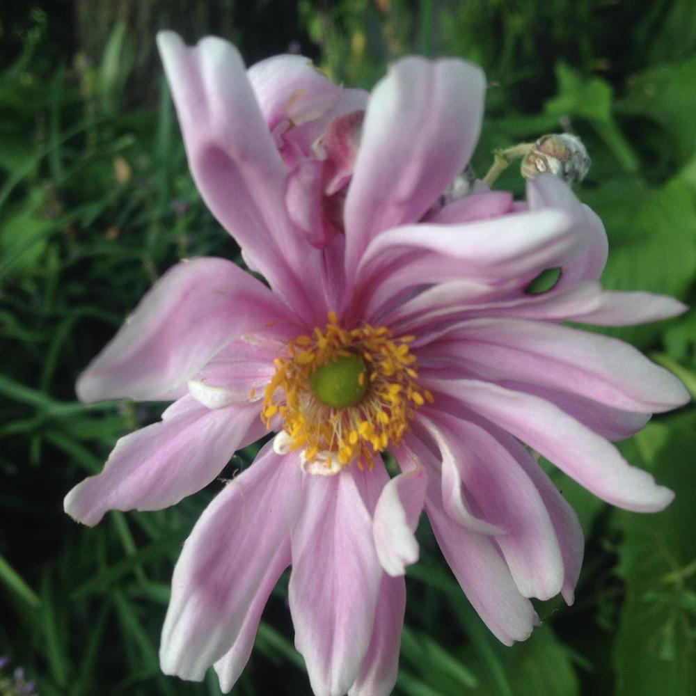 Photo of Japanese Anemone (Eriocapitella hupehensis 'Party Dress') uploaded by csandt