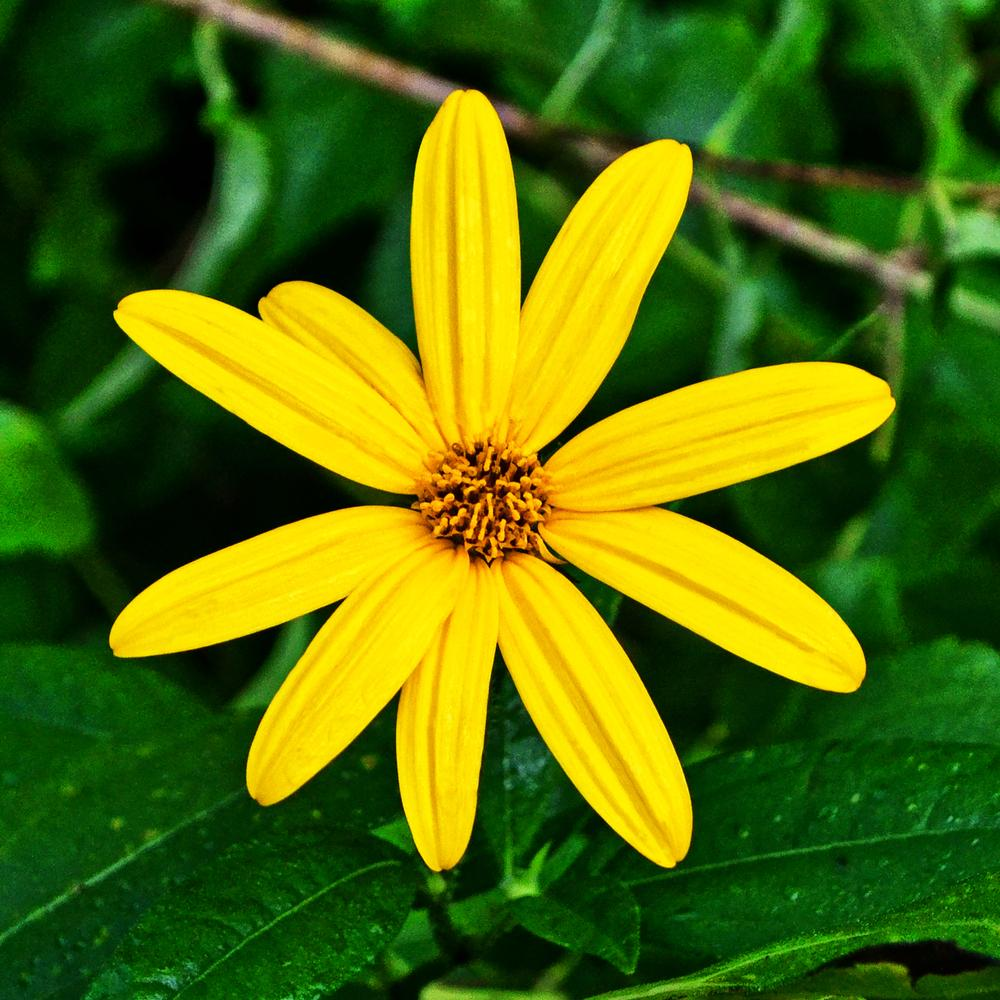Photo of Sunroots (Helianthus tuberosus) uploaded by dawiz1753