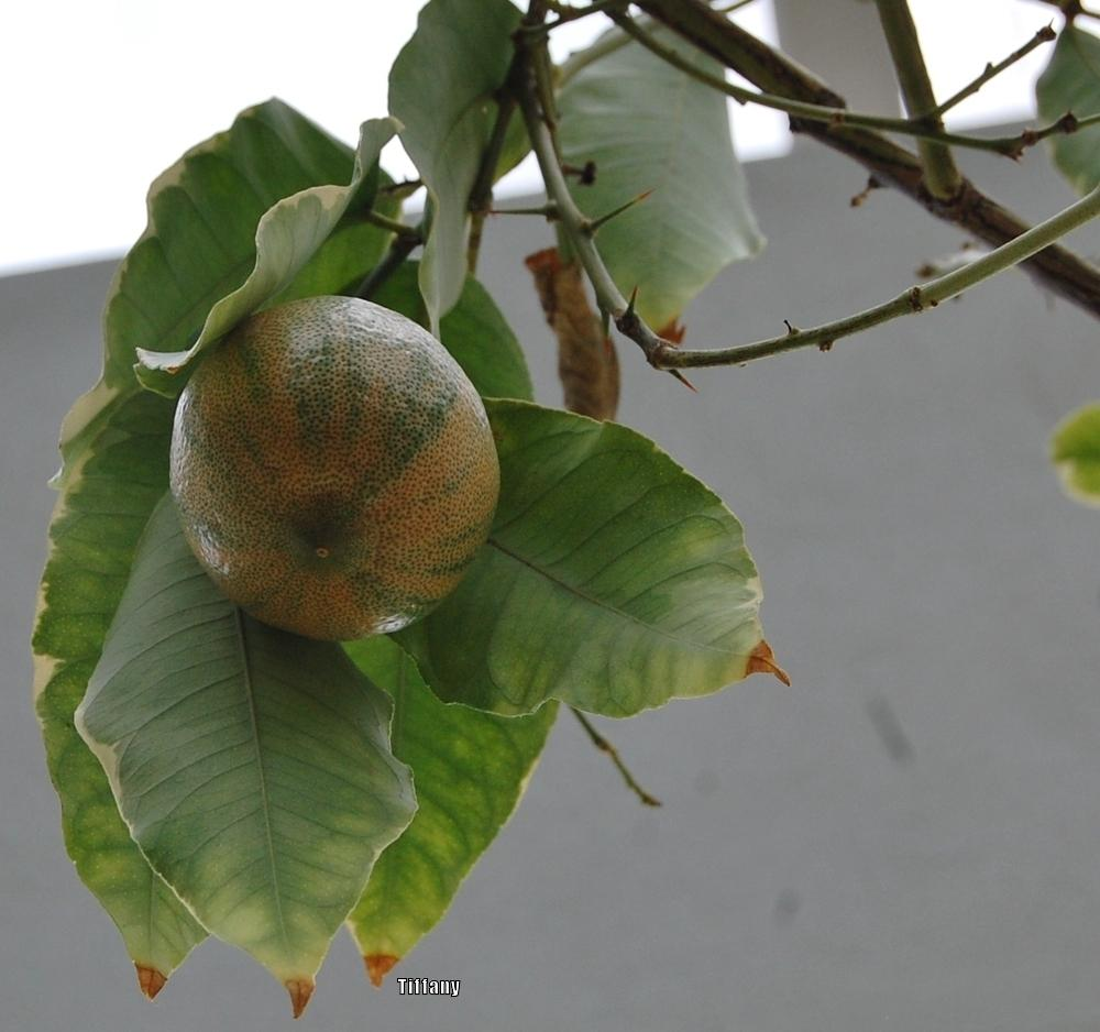 Photo of Lemon (Citrus x limon) uploaded by purpleinopp