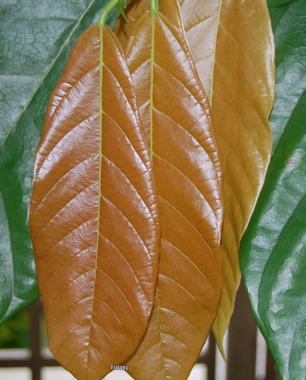 Photo of the leaves of Cocoa Tree (Theobroma cacao) posted by ...
