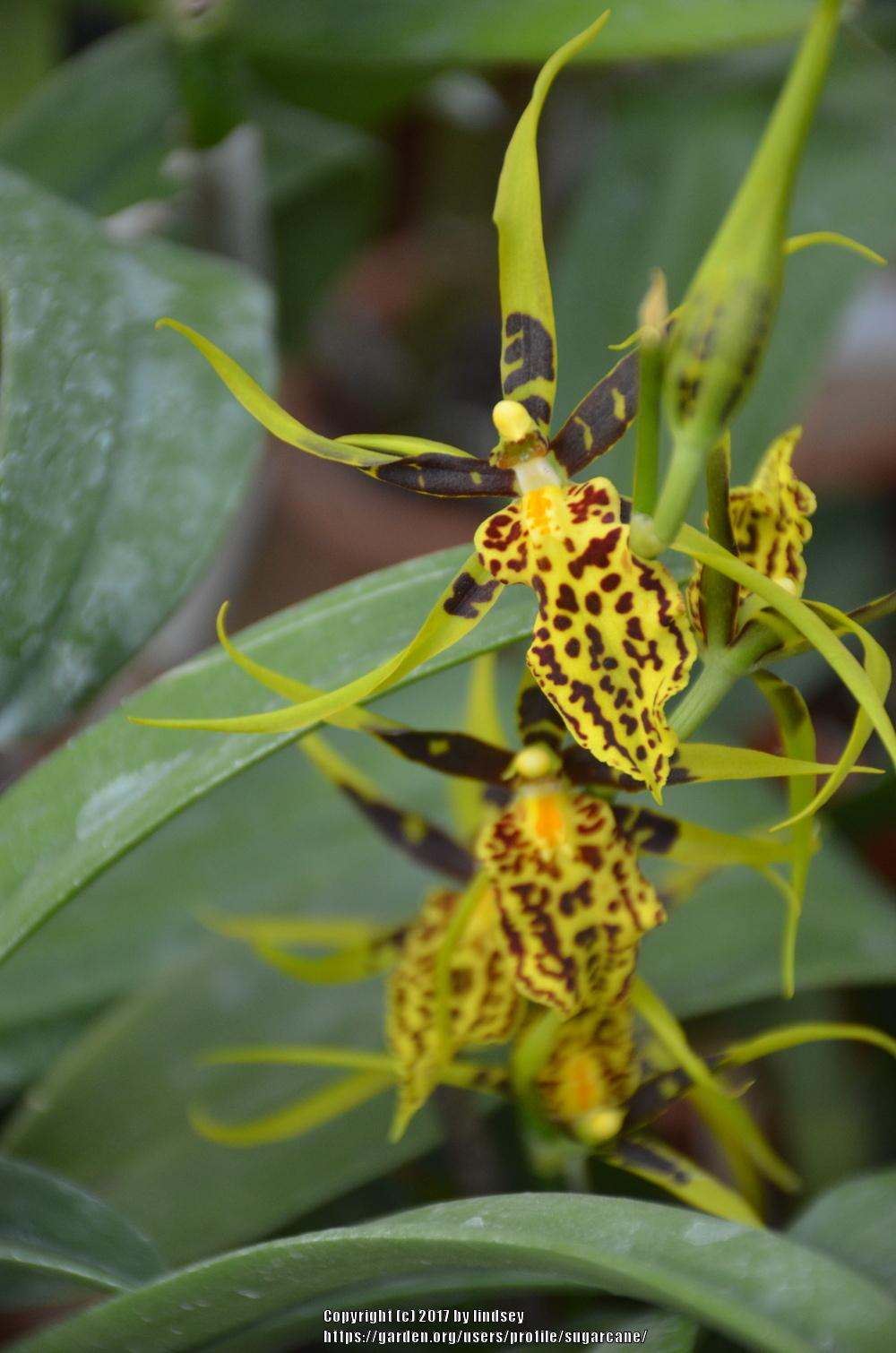 Photo of Orchid (Brascidostele Gilded Tower 'Mystic Maze') uploaded by sugarcane