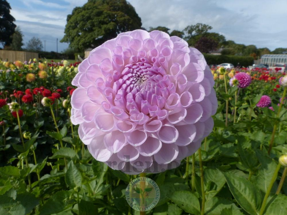 Photo of Dahlia 'Megan Dean' uploaded by Galanthophile