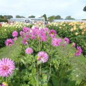 Location: Halls of Heddon nursery Northumberland EnglandDate: 2017-09-22