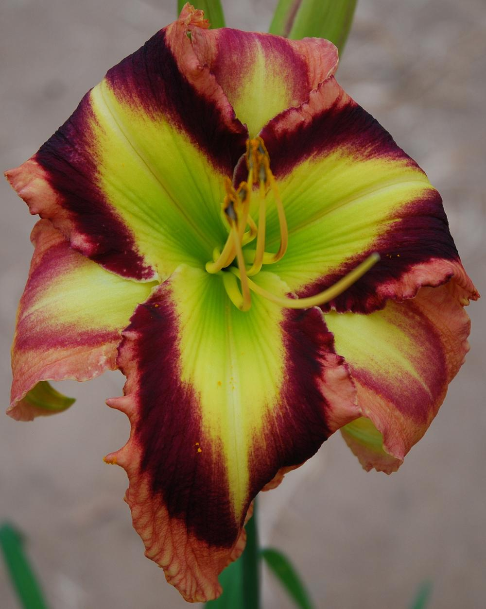 Photo of Daylily (Hemerocallis 'Splash Dance') uploaded by Lalambchop1