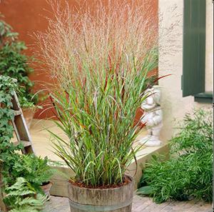 Photo of Switch Grass (Panicum virgatum 'Shenandoah') uploaded by Lalambchop1