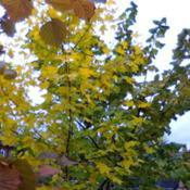 Location: GardenDate: 2016Brilliant yellow Autumn foliage
