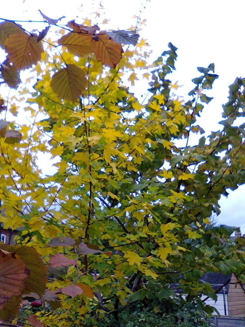 Photo of Hedge Maple (Acer campestre) uploaded by Yorkshirelass