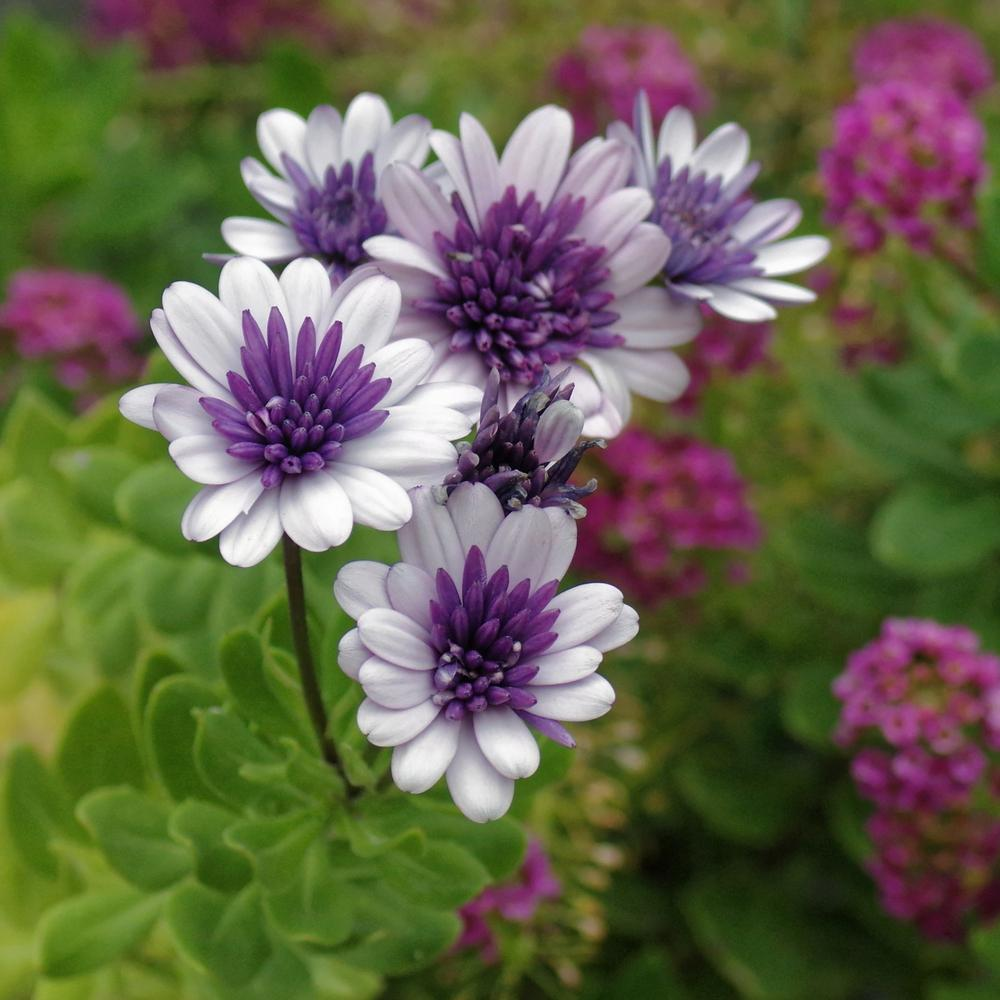 Photo of African Daisy (Osteospermum ecklonis 4D™ Violet Ice) uploaded by dirtdorphins