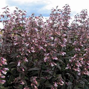 Photo of Penstemon (Penstemon digitalis 'Dark Towers') uploaded by Lalambchop1