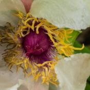"Location: Clinton, Michigan 49236Date: 2017-09-25""Paeonia suffruticosa 'Souvenir de Maxime Cornu', 2017, (4-DB-Y)"