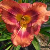 Location: Currie's Daylily FarmDate: 2017-07-22