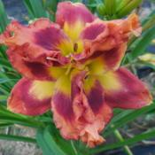 Location: Currie's Daylily FarmDate: 2017-08-09