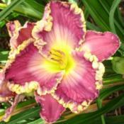 Location: Grand Kids Daylily Farm, Union, MSDate: springGrand Kid Ethan
