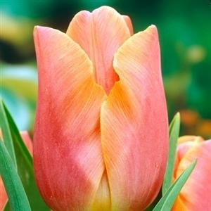 Photo of Tulip (Tulipa 'Jenny') uploaded by Lalambchop1