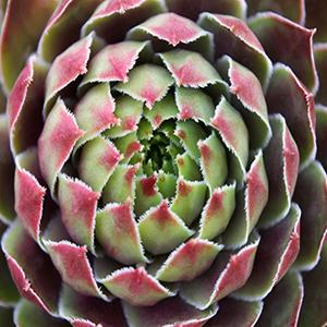 Photo of Hen and Chicks (Sempervivum 'Kalinda') uploaded by Lalambchop1