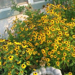 Photo of Black Eyed Susan (Rudbeckia triloba 'Little Charm') uploaded by Lalambchop1