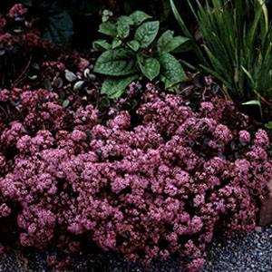 Photo of Stonecrop (Hylotelephium 'Vera Jameson') uploaded by Lalambchop1