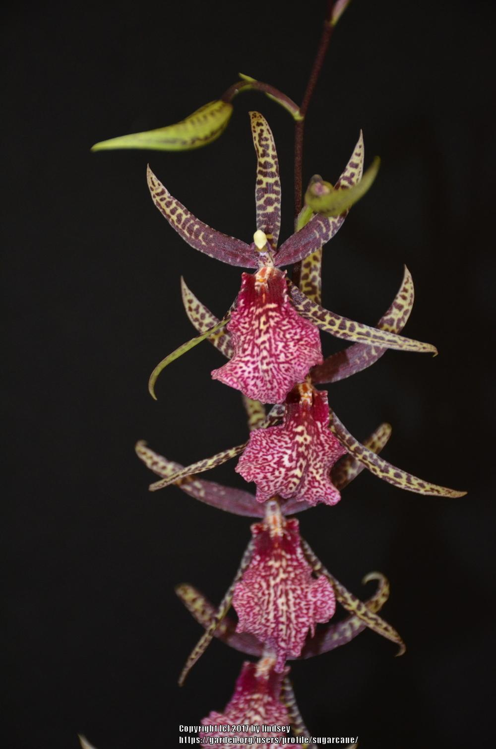 Photo of Orchid (Arthurara Amy Roth) uploaded by sugarcane