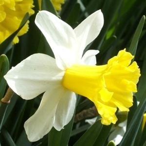 Photo of Cyclamineus Daffodil (Narcissus 'Wisley') uploaded by Lalambchop1