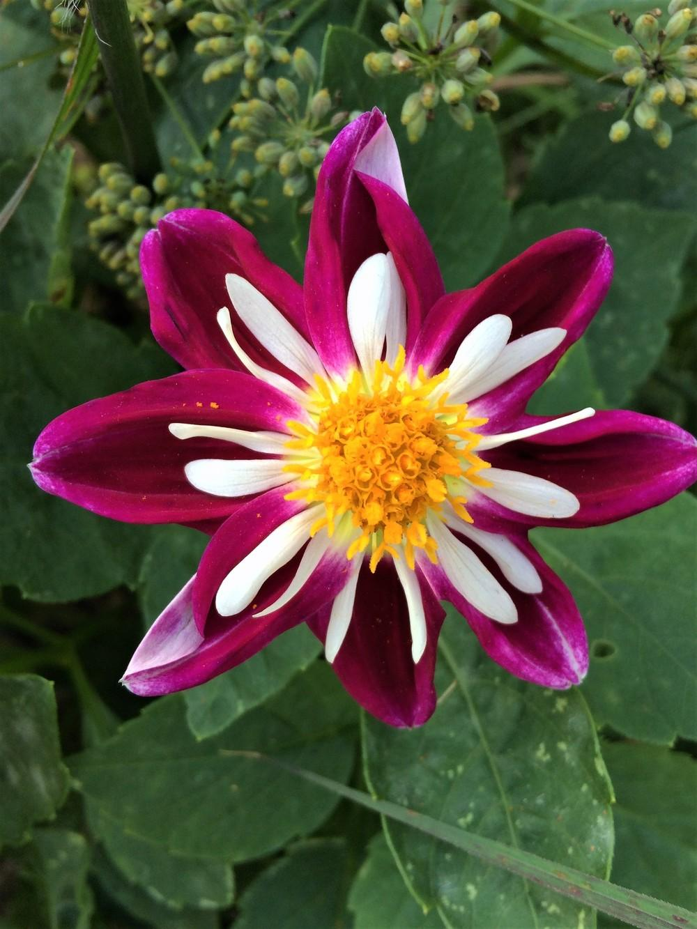 Photo of Dahlia 'Bumble Rumble' uploaded by nativeplantlover